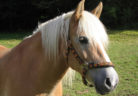 cavalo_freeimages