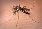 Aedes_Albopictus-Unimed