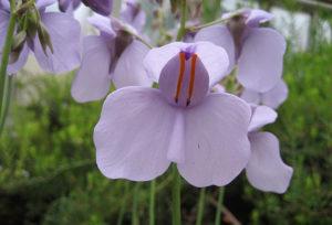 Utricularia_reniformis_wikipedia